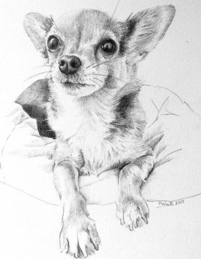 Beau the Chihuahua